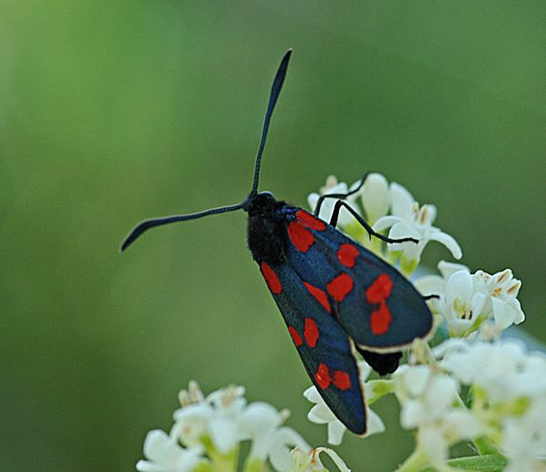 Papillons--insectes--. 9289