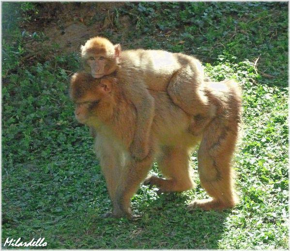 32-d-macaque-berbere-la-mere-et-son-petit-sur-le-dos-2.JPG