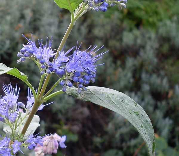fleur-bleue-1.jpg