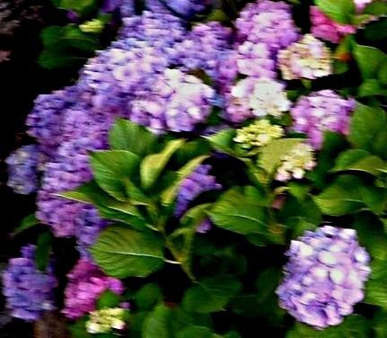 Hortensia -Bleu-rose-copie-1