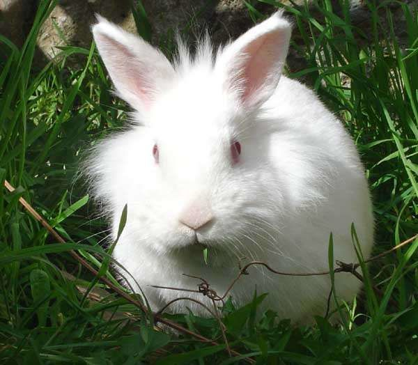 UICN : Près d'une espèce de lapin sur quatre est menacée