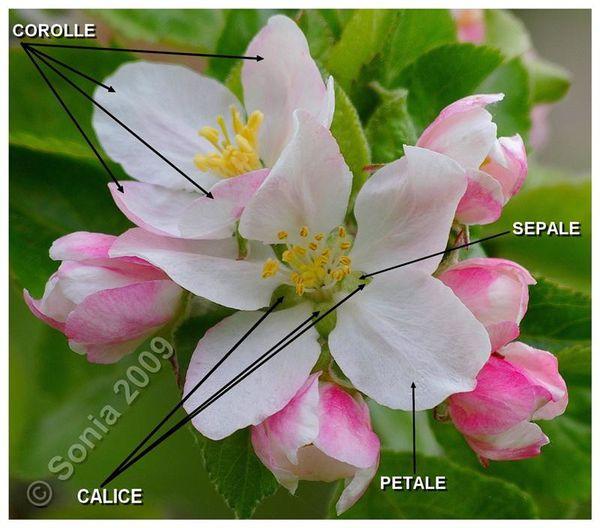 fleur-pommier--Medium-.jpg