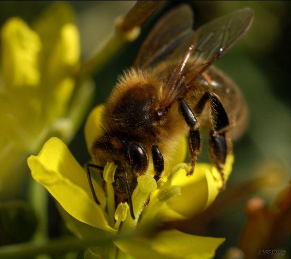 abeille-miel-Apis-mellifera 2886