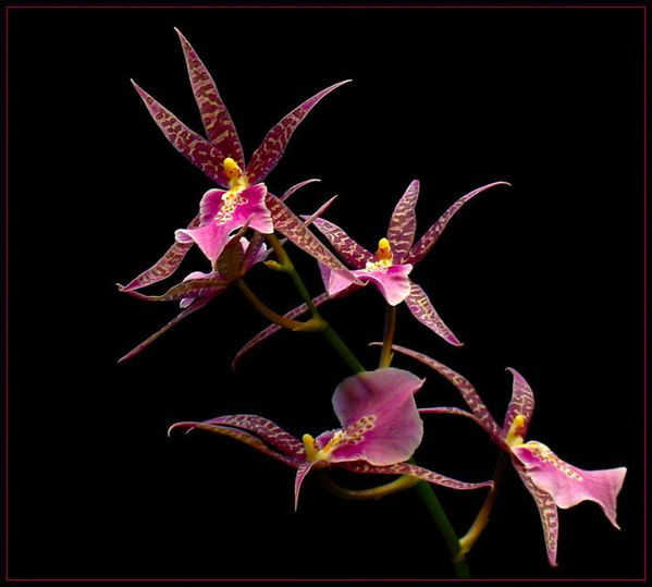 FIVE_ORCHIDS_by_THOM_B_FOTO.jpg