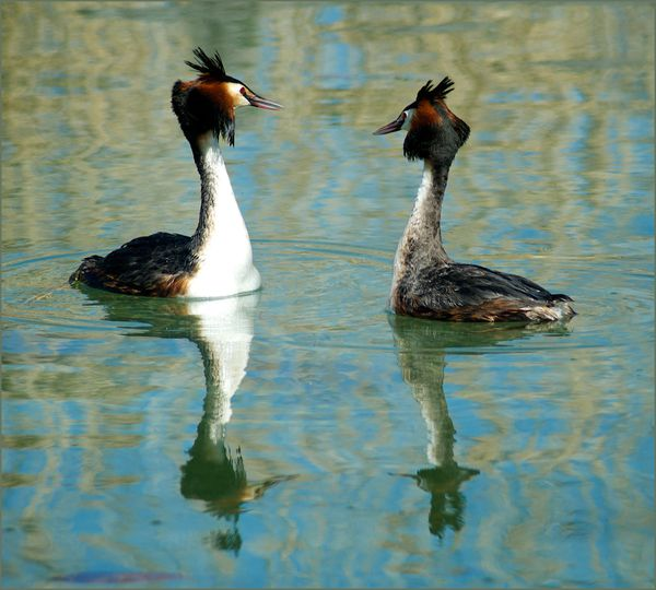 grebes-6-copie-1.jpg