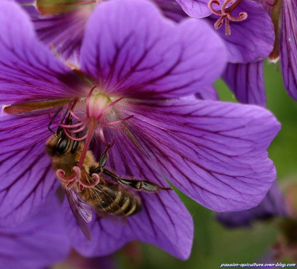 Geranium Dragon Heart (76)