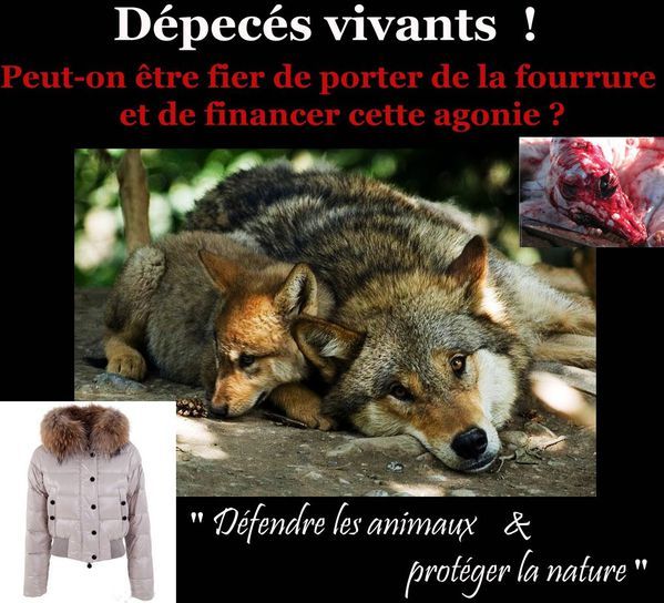 loup depece vivant