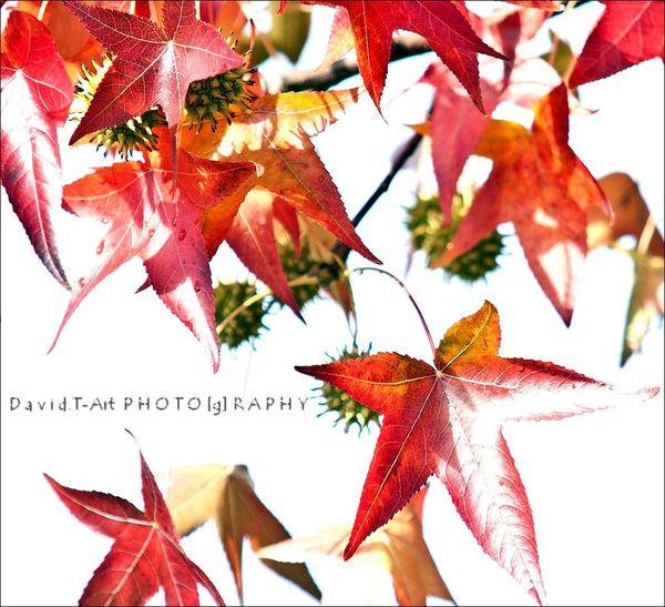 feuilles et chataignes d'automne (1)