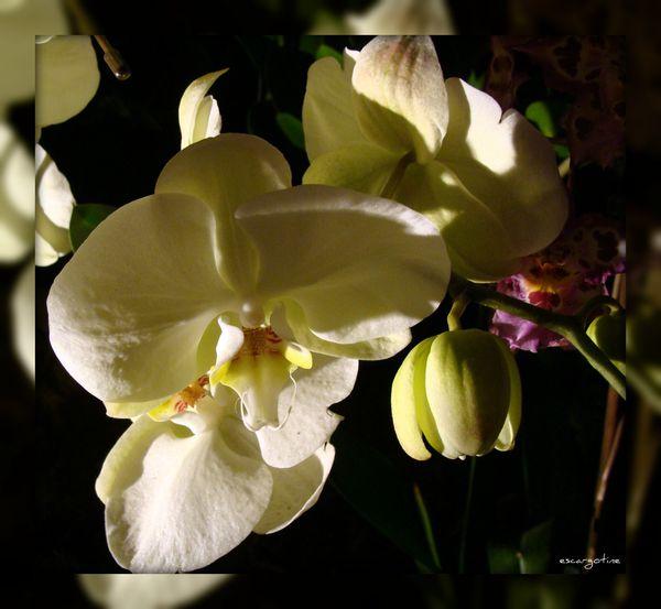 2012-03-23bis orchidées 2012 097