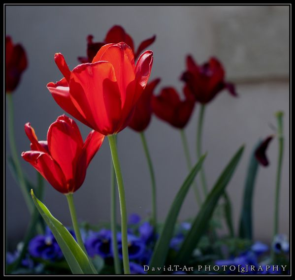 tulipes (rouge) (7)