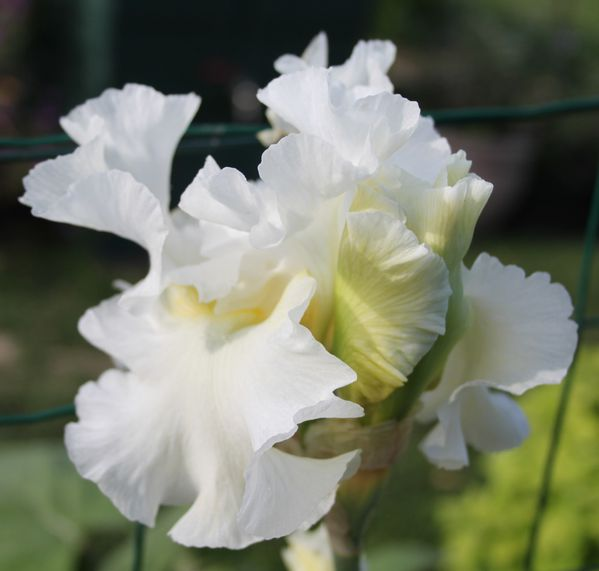 Iris-germanica--Leda-s-lover-.jpg
