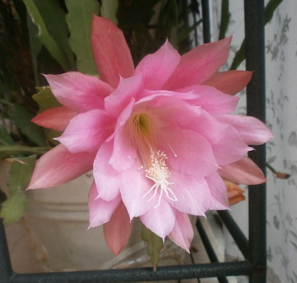 fleur-de-bouture-roseline-001.JPG