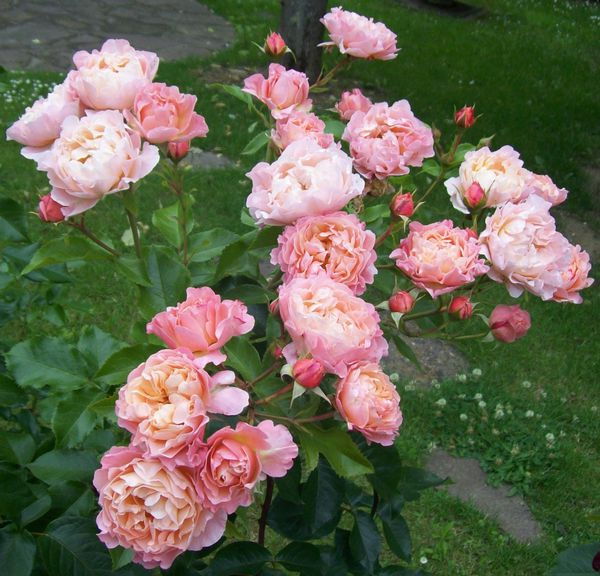 roses-anglaises-roses-grappe.jpg