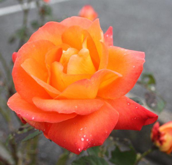 D couvrez le rosier france libre plaisir for Rosier jardin de france