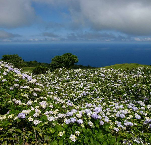 hydrangeas_on_faial---Ilena-Lo-natural-land.jpg