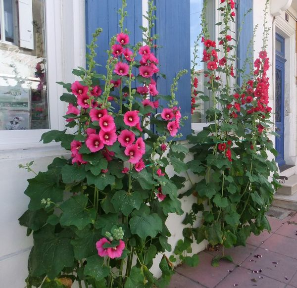 roses-tremieres-chateau.jpg