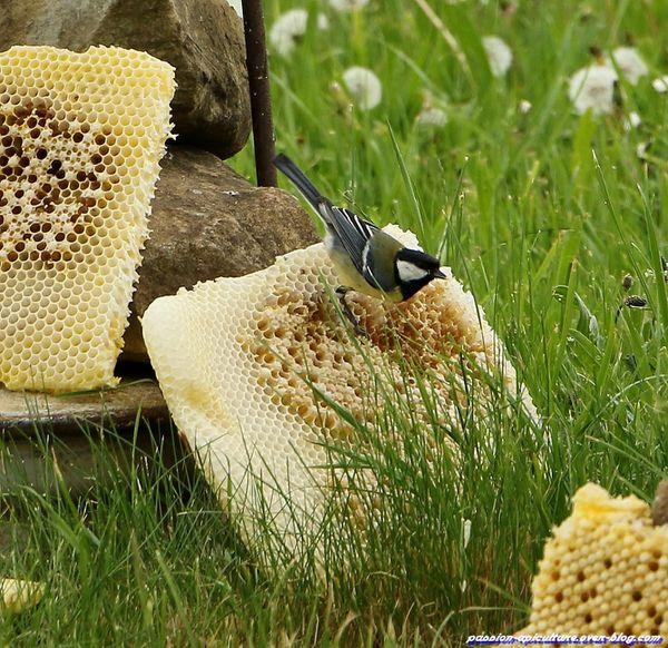 Mésange et cadre piège à varroas (5)