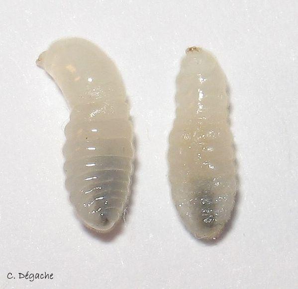 C. ligniperdus pre-nymphe