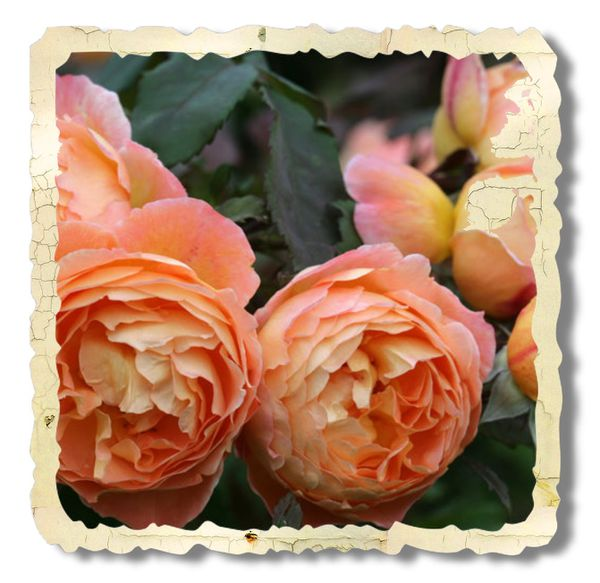 rosier lady emma hamilton orangé