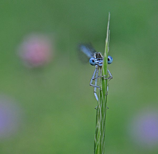 Agrion yeux