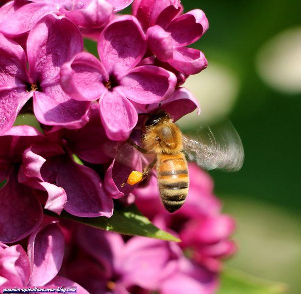 Lilas et les abeilles (49)