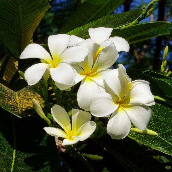 Papeete Intercontinental frangipanier fleurs