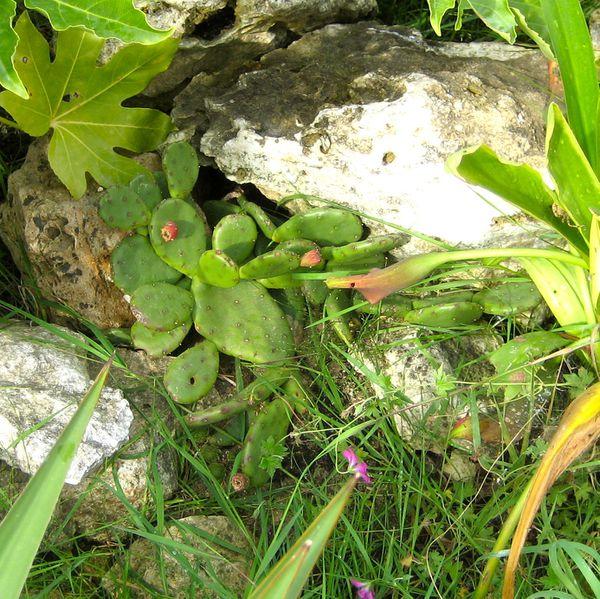 Opuntia-humifusa.JPG