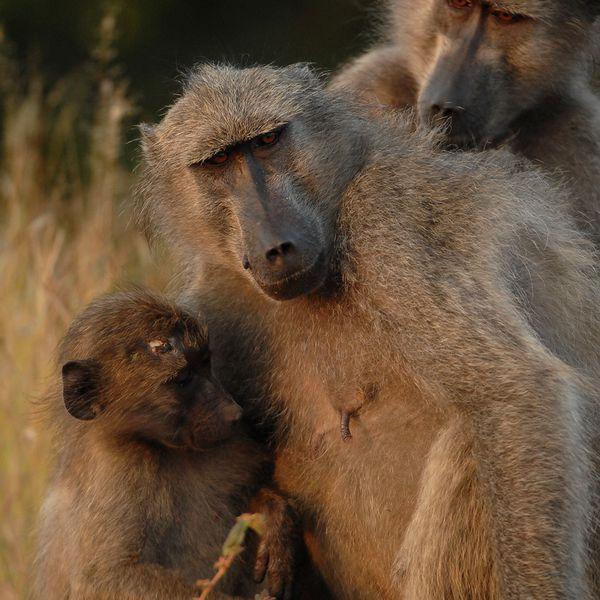 Babouins RSA Kruger 080510 DSC 1544 web