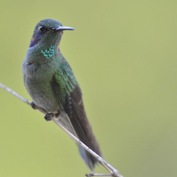 Green-Violetear-San-Francisco-Colombia-1210_DSC4332_web.jpg