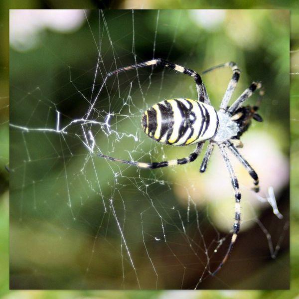 Araignée rayée2 2012-09-181
