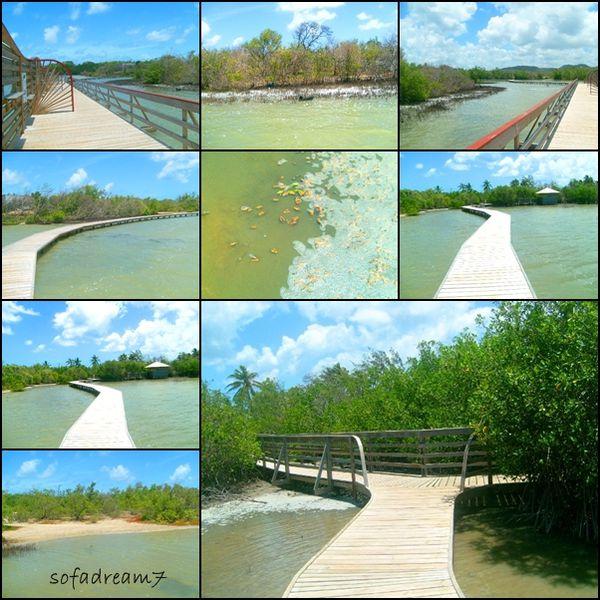 mangrove-t.jpg
