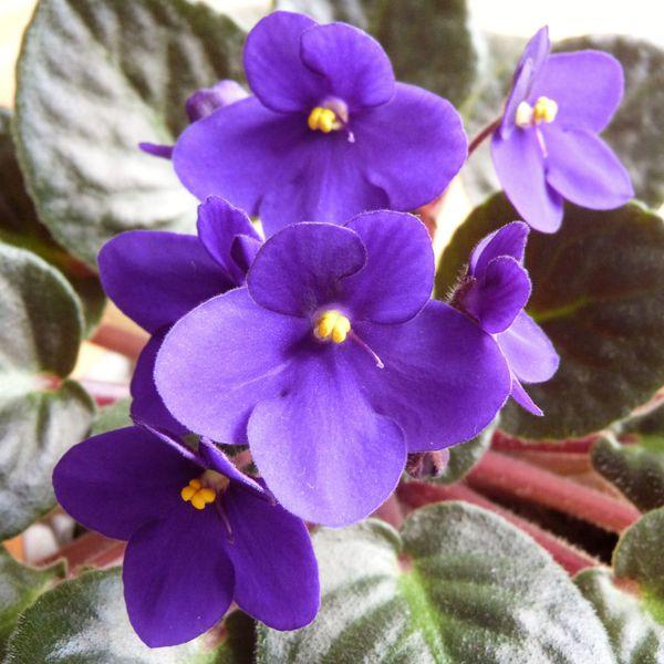 saintpaulia - les fleurs