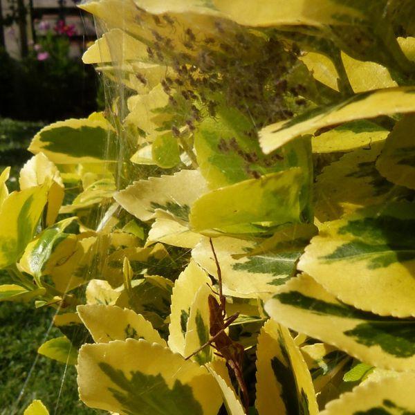 araignee-loup---nid-dans-le-fusain---juin-2014--800x800-.jpg