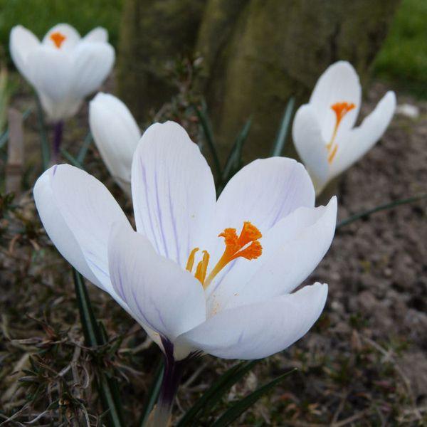 crocus jeanne d'arc - mars 2014