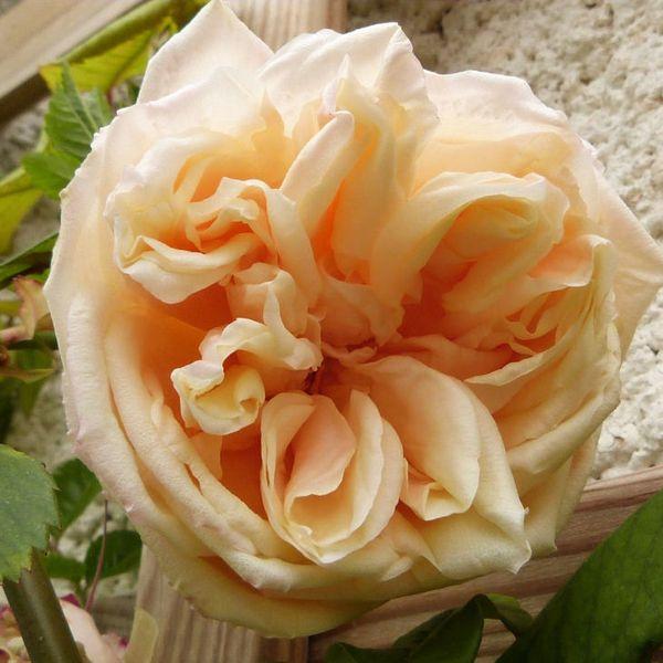 rosier alchémyst - première fleur 14 avril 2014