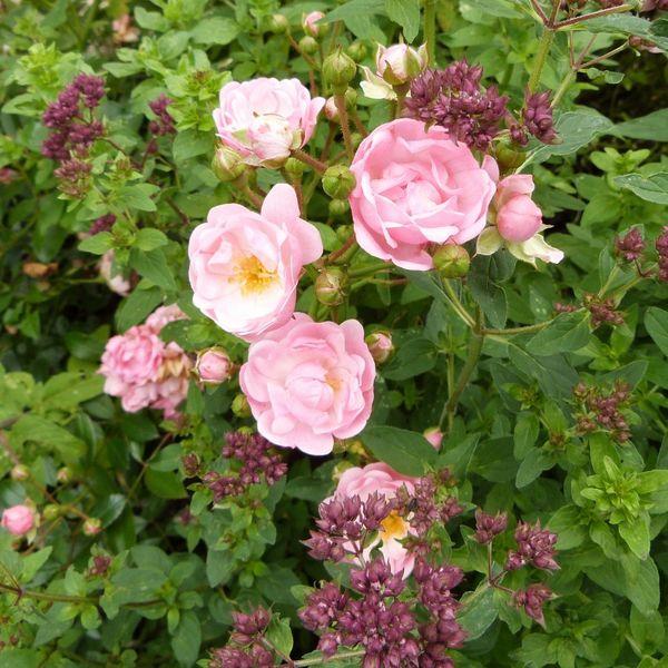 rosier petite françoise et origan - juillet 2014 (800x800)