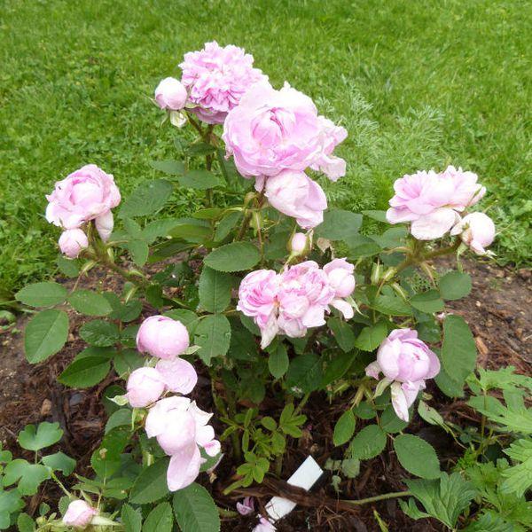 rosier-soupert-et-notting---juin-2014---premiere-floraison.jpg