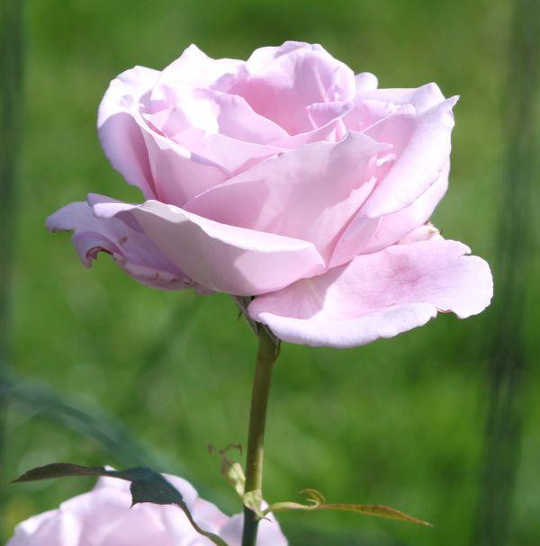 Découvrez le rosier Sissi