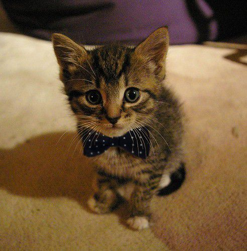 kitten-bow-tie_large.jpg