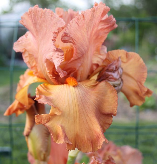 Iris-germanica--Copper-Classic-.jpg