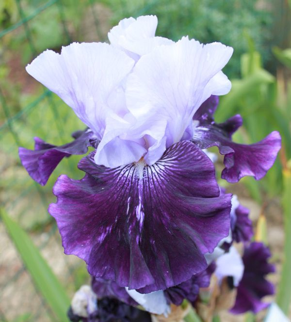 Iris germanica 'Riviere pourpre'
