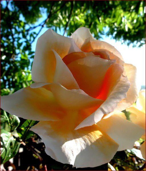 rose-8-DSC06741.jpg
