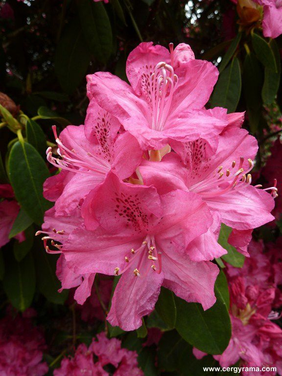 massifs rhododendrons blancs roses fleur gros plan