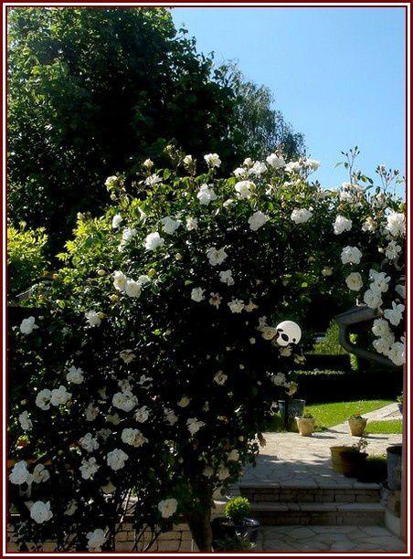 rose-1-DSC06380.jpg