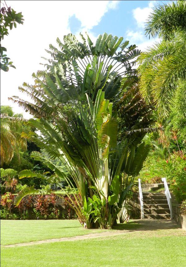 St Kits Romeny Manor Jardin Arbre Voyage1