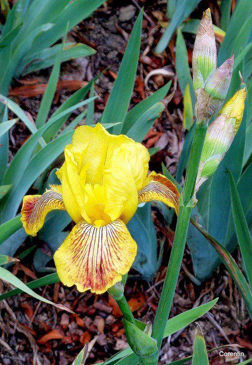 T01 - Iris jaune