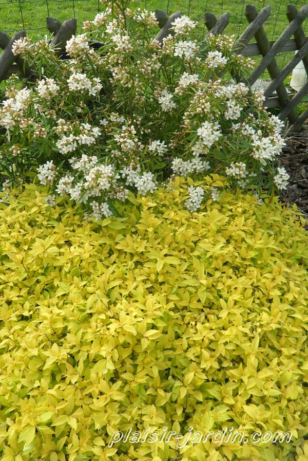 spiraea-golden-princess.JPG