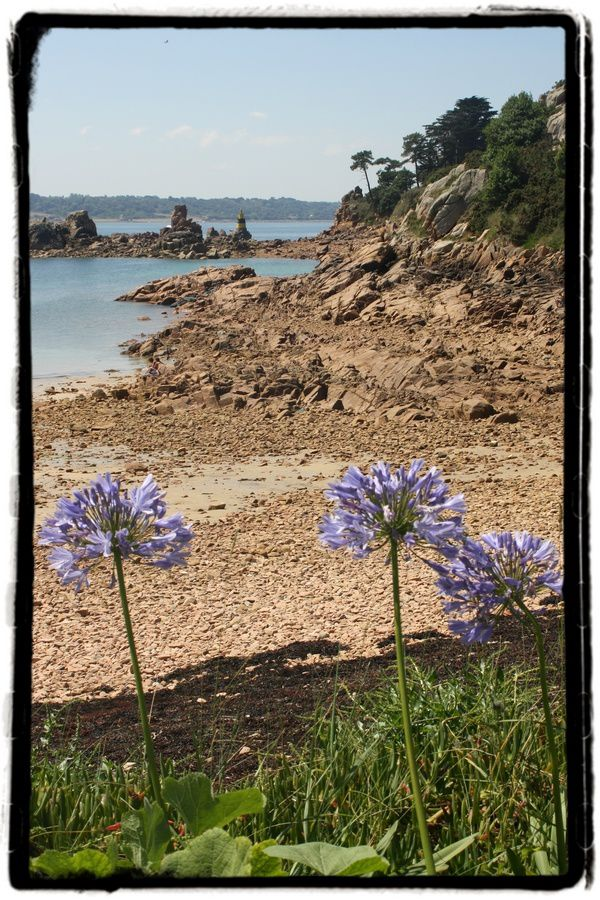 Agapanthes---Plage-du-Guerzido.jpg