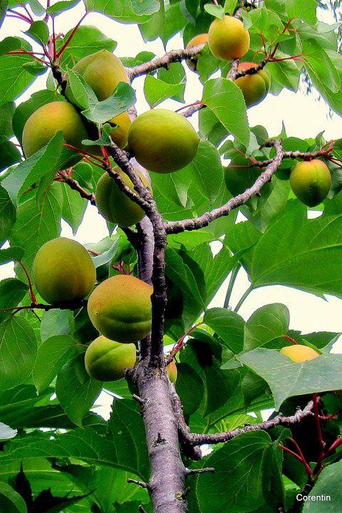 q11 - Les abricots