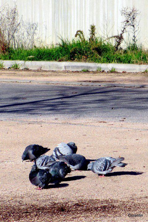 t04---Pigeons.JPG